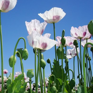 Stylish white poppies in a field